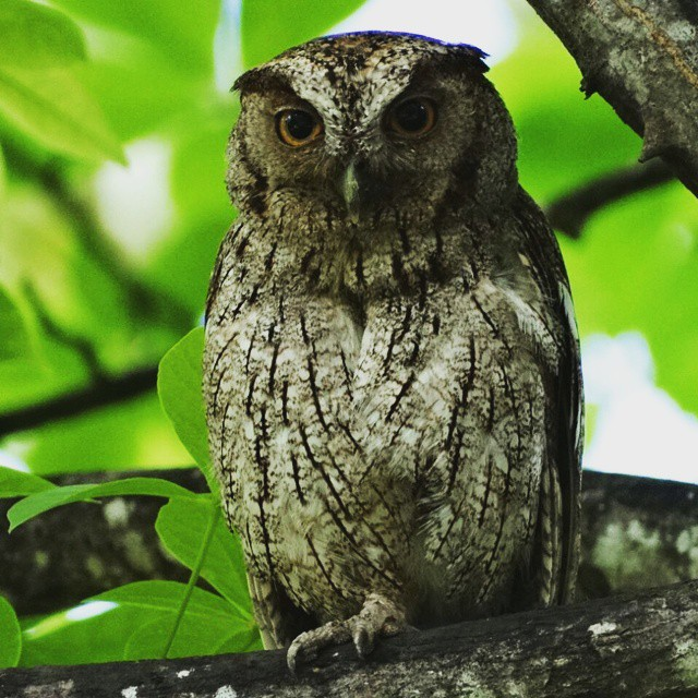 Owl at Hacienda Guachipelin