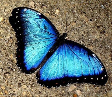 Blue Morpho, photo credit deborah_grecco.