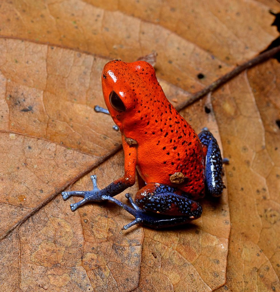 "Strawberry dart frog, known as ""Blue Jeans"" frog, photo credit wikimedia."