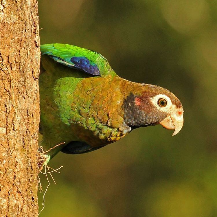 Brown Hooded Parrot