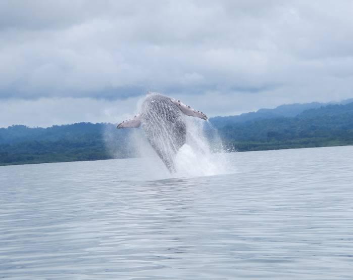 Humpback Whale breaching in Golfo Dulce, Costa Rica